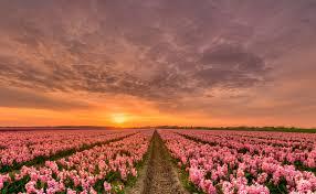 Цветки картофеля лечебные свойства и противопоказания