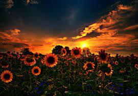 Не цветут гладиолусы: причины и методы их устранения