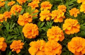 Все об оранжевых бархатцах