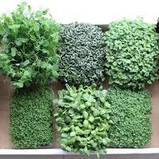 Нут выращивание на даче