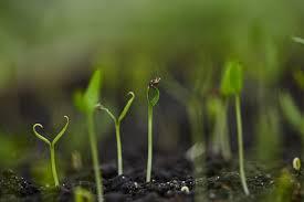 Цветок гардения жасминовидная уход