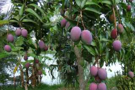 Манговое дерево в домашних условиях