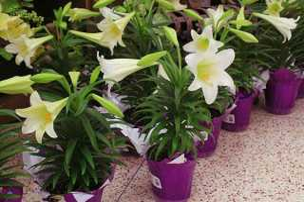 Комнатный цветок лилия как ухаживать