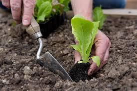 Драцена маргината сохнут кончики листьев что делать