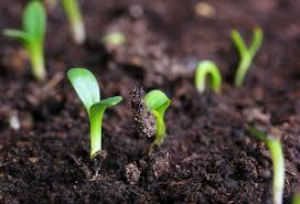 Как вырастить чеснок в открытом грунте