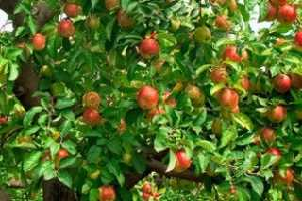 Как вырастить саженец яблони из семечки