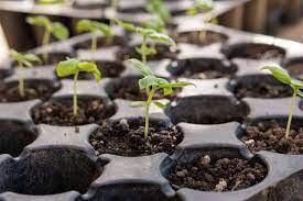 Цветы циния выращивание