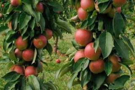 Как посадить яблоню весной пошаговое руководство