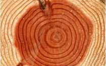 Как определить возраст дерева по диаметру ствола