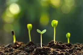 Ипомея комнатная с фиолетовыми листьями