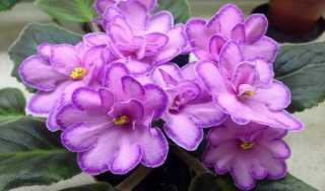 Фиалка СМ-Наша надежда: описание и выращивание сорта