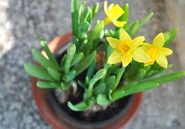 Характеристика пионов «Пастелеганс» и их выращивание