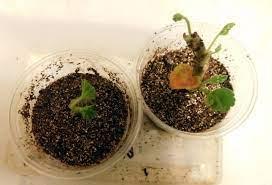 Грунт для бамбука комнатного