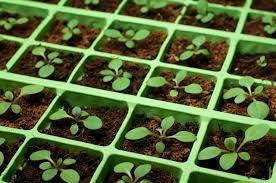 Как осуществляется размножение фиалки (сенполии) из листа?