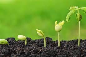 Сорта и особенности выращивания розовых тюльпанов