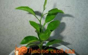 Как вырастить мандариновое дерево из косточки дома