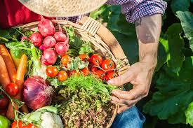 Плоды рожкового дерева как употреблять