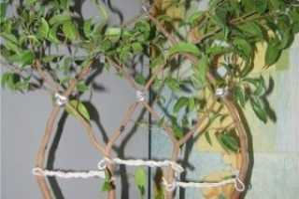 Фикус священный: правила выращивания и ухода