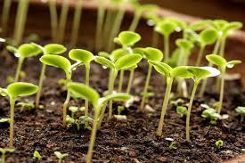 Кедр из семян как вырастить дома