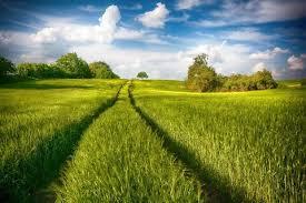 Кларкия изящная: описание и выращивание