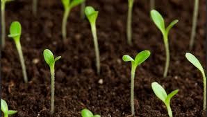 Как правильно посадить цветок денежное дерево