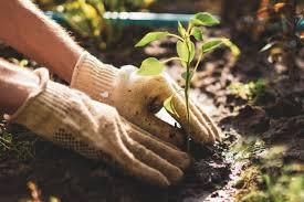 После чего сажать капусту в открытый грунт