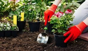 Монетное дерево уход в домашних условиях