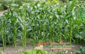 Что можно садить после кукурузы