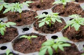Цветы герань уход и размножение