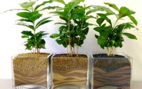 Как вырастить кофе из семян дома