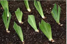Тонкости посадки ирисов весной в открытый грунт