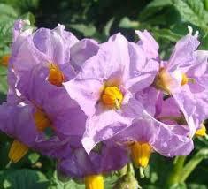 Алламанда: характеристика, разновидности и выращивание