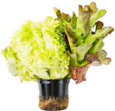 Где растет агава?
