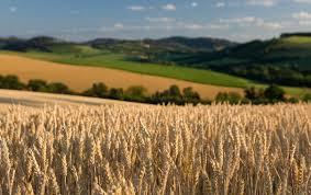 Чем кормить гусей перед забоем