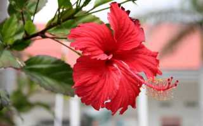 Чем удобрять китайскую розу в домашних условиях