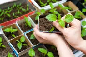 Как вырастить кофейное дерево из зерна