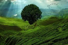 Джида дерево полезные свойства