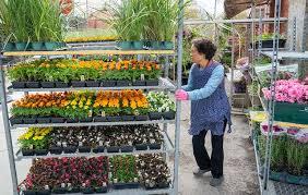 Комнатные растения пуансетия особенности ухода