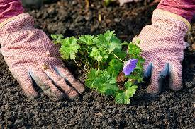 Комнатная роза желтеют листья и опадают