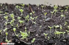 Как пересадить комнатную розу из магазина